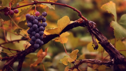 fall-grapes