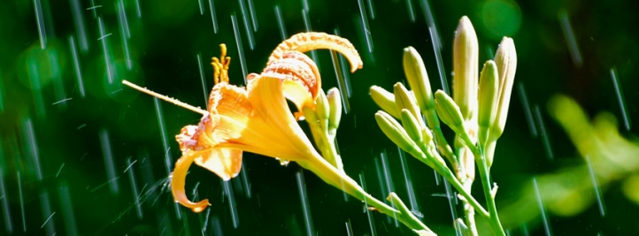 daylily_in_the_rain-t1