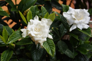 gardenia-bush